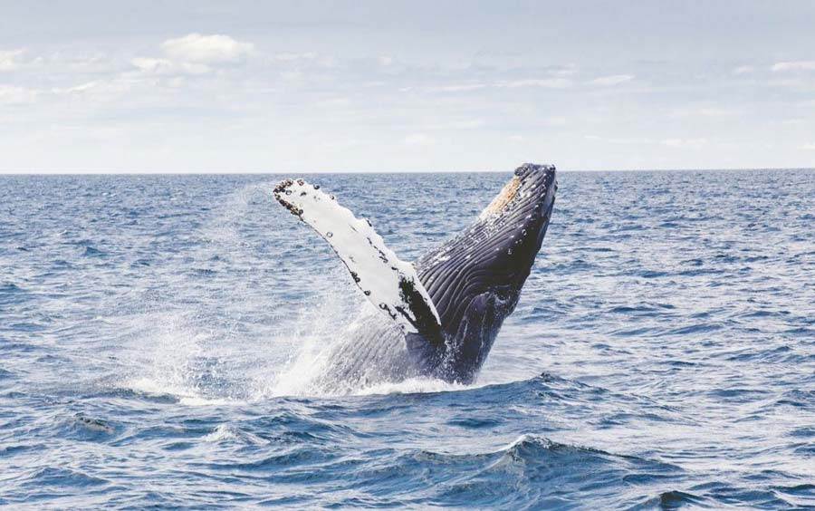 humpback whale visiting clare island